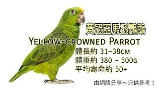 黃冠亞馬遜鸚鵡 (單頂帽、小黃帽) Yellow-crowned Parrot