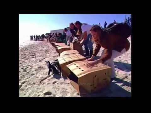 Saving oiled African penguins (MV Treasure Oil Spill, 2000)