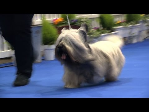Manchester Dog Show 2017 - Terrier group - Shortlist