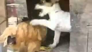 Кот и петух!