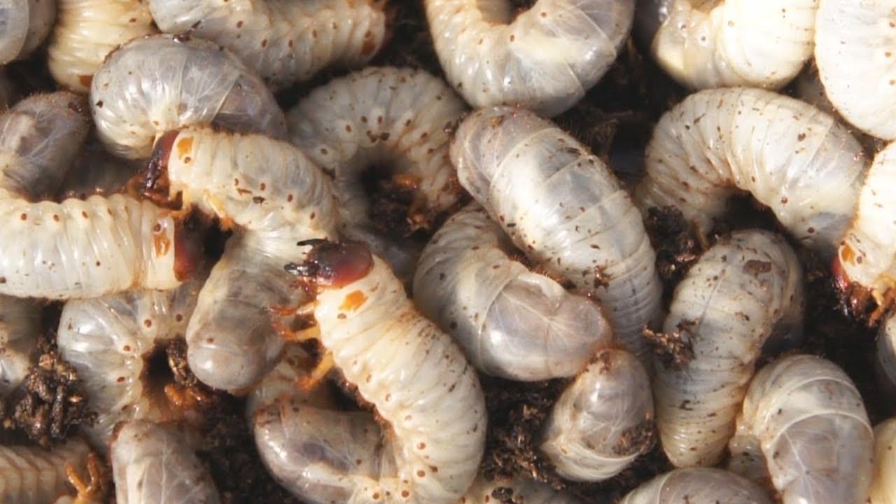 カブトムシの幼虫 発酵マットの交換 ちょっとグロい(キモイ)か ...