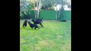 Four big rottweilers playing!