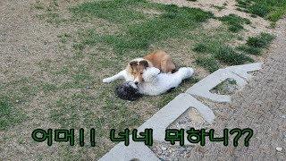 강아지끼리 첫눈에 반하면??(Dog's Love, Dog's Romance, Puppy Love, Puppy Romance)