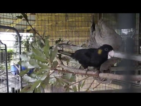 Betty Cocky in new aviary 19feb16