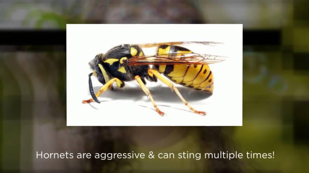 honey bees vs yellow jackets - 1280×720