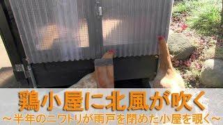 """2017年11月中旬。 名古屋コーチンの""""もみじ""""と""""かえで""""は、生後6ヶ月半..."""