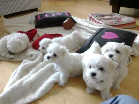 Maltese Puppies At 8 Weeks Mp4 Youtube