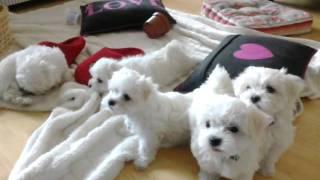 Maltese Puppies At 8 Weeks.mp4