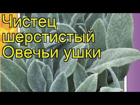 Чистец шерстистый Овечьи ушки. Краткий обзор, описание характеристик stachys lanatа