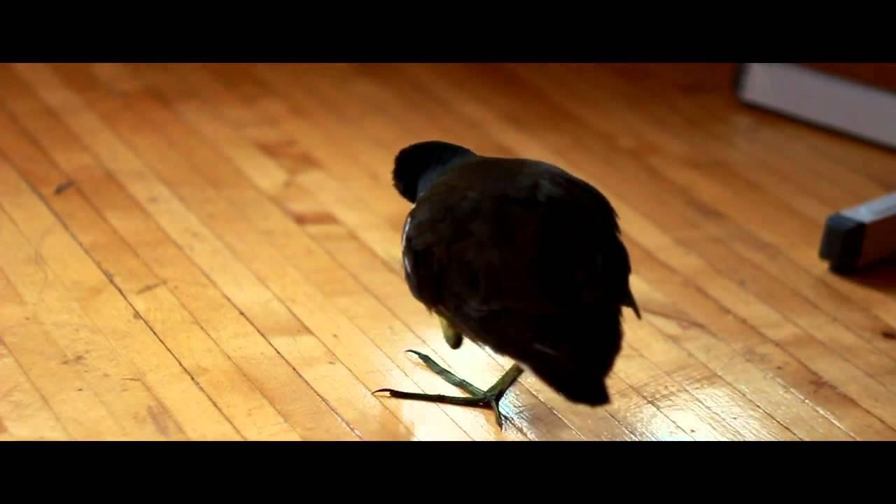 Куры Несушки Хайсекс и Ломан Браун. - YouTube