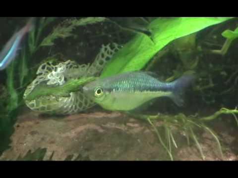 Turquoise rainbow fish flashing youtube for Turquoise rainbow fish