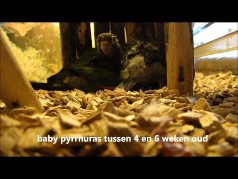 Babyvogels tamme parkiet