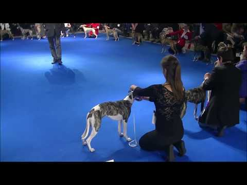 Whippet Euro dog show 2018 in Warsaw