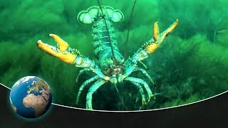 Lobsters  The armoured knights of the oceans