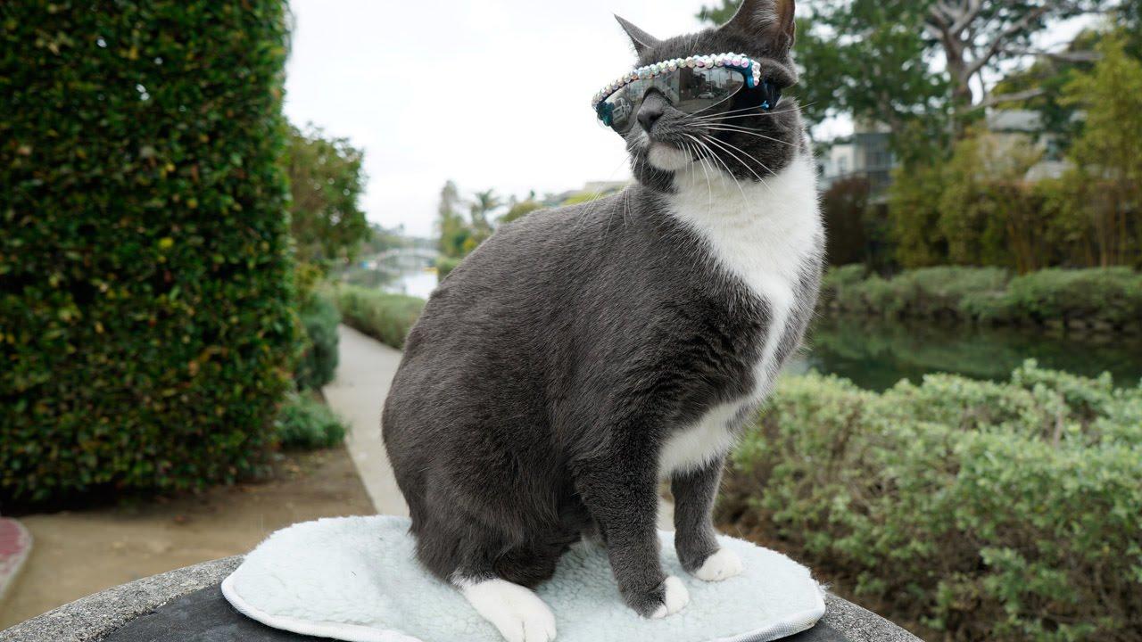 Картинки по запросу cat with no eyelids wears sunglasses