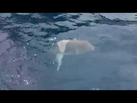 Pesce Luna nuota nel mare di Portofino