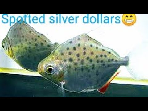 Spotted Silver Dollar Fish Species Wednesday