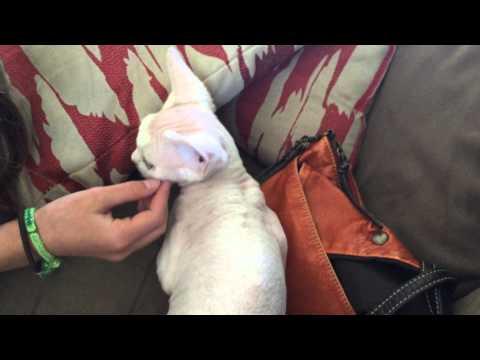 New Devon Rex kitten FIRST DAY HOME!