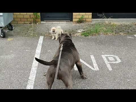 XL American Bully (pitbull) VS Pomeranian dog.