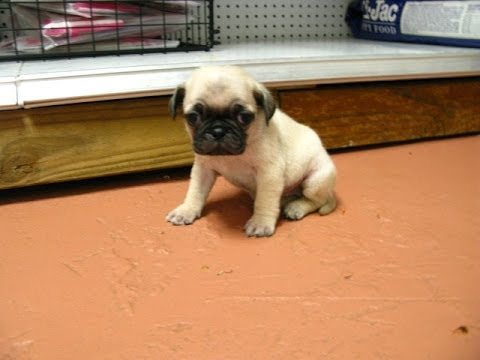 Pug, Puppies, Dogs, For Sale, In Columbia, South Carolina, SC, Mount  Pleasant, Sumter