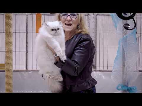 CFA International Cat Show 2018 - Persian kitten class judging - Himmies