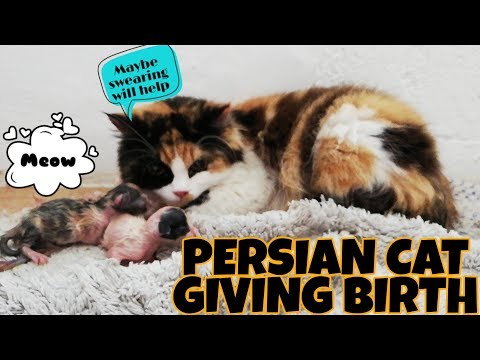 MY PERSIAN CAT GIVING BIRTH   PERSIAN CALICO   Tri color Cat