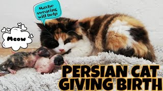 MY PERSIAN CAT GIVING BIRTH | PERSIAN CALICO