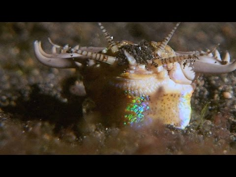 Thumbnail: This Terrifying Worm Snatches Fish from the Ocean Floor