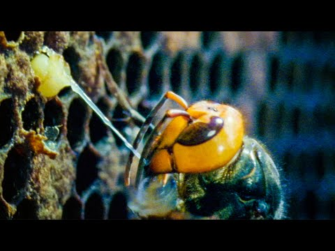 Giant Hornets Massacre European Bees | Buddha Bees and The Giant Hornet Queen | BBC Earth
