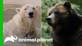 The Ultimate Bear Compilation! | Animal Planet