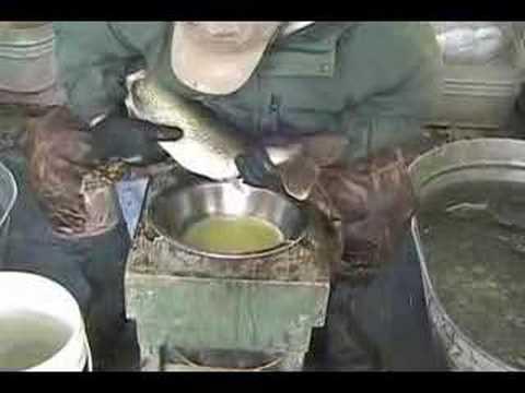 Walleye Spawning