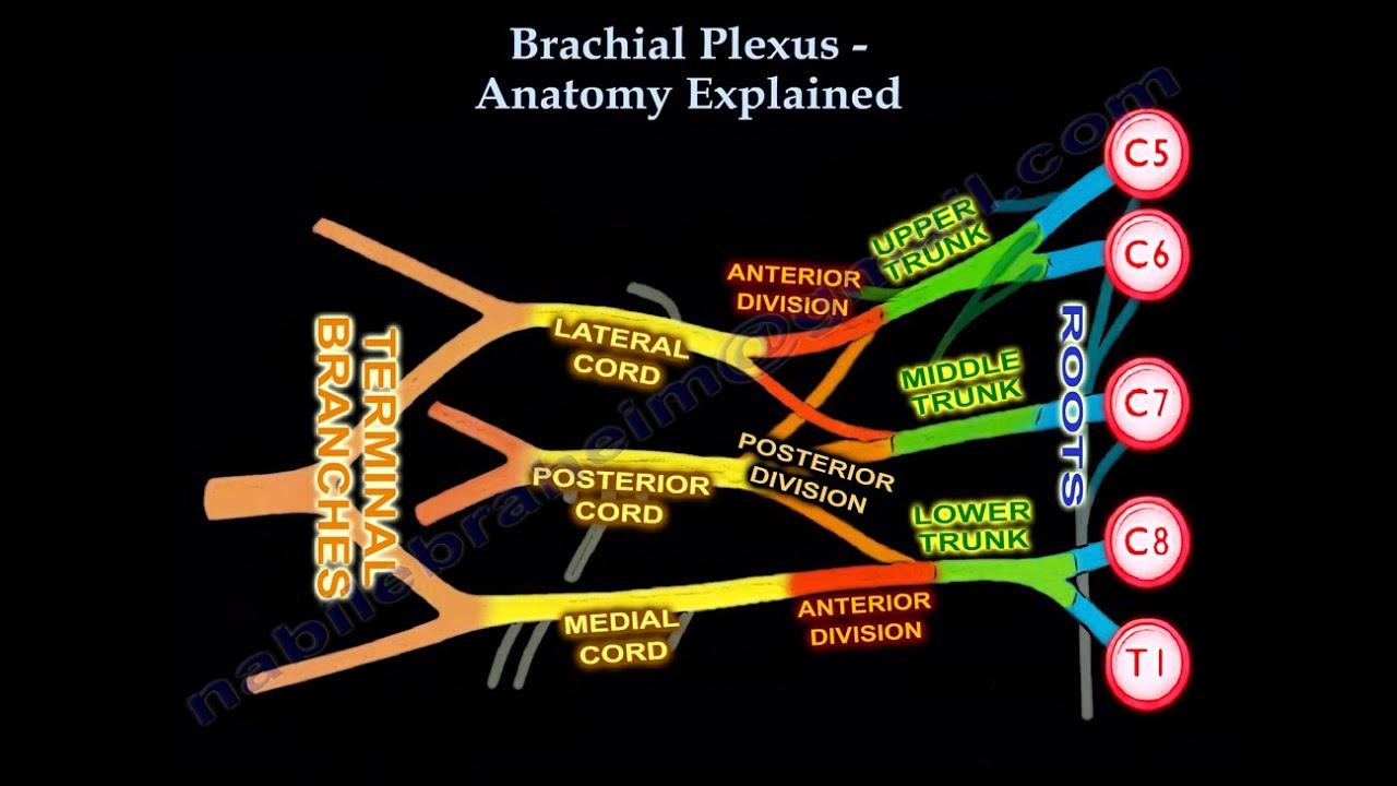 Brachial Plexus Anatomy Explained Everything You Need To Know Dr Nabil Ebraheim Youtube