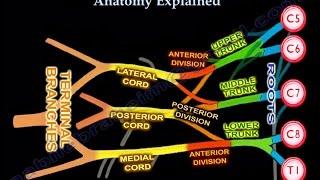 Brachial Plexus Anatomy Explained   Everything You Need To Know   Dr. Nabil Ebraheim