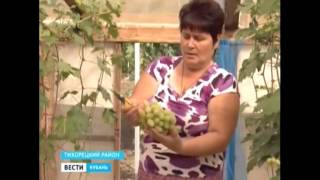 Саженцы винограда Кривошеев А