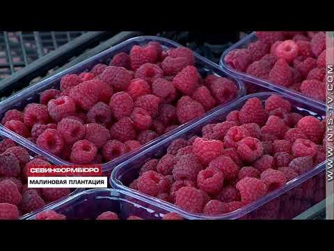 Севастопольский фермер собрал первый урожай малины