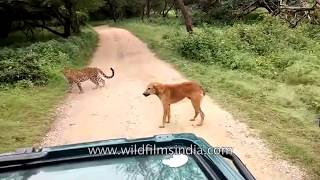 Leopard attacks dog, dog attacks leopard, dog wins