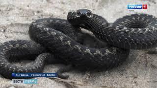 Гайны атакуют ядовитые змеи