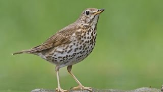 Suara Burung Song Thrush