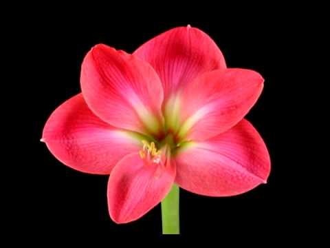 Распускающиеся цветы гифы