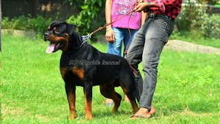 Show quality   rottweiler puppies for sale