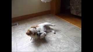 Smoothy My Shih-tzu X Pomeranian Like Play!