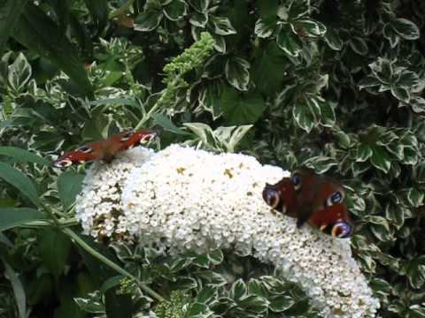 Twee vlinders op witte vlinderplant