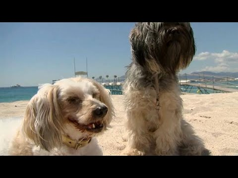 """A Chihuahua from an Italian movie """" Dogman"""" won Palm Dog award at Cannes"""