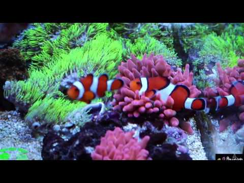 Practical Reef Redsea 250 3 month coral  growth  update!
