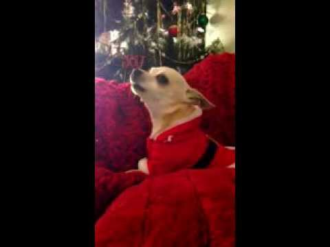 Christmas Chihuahua singing Dog
