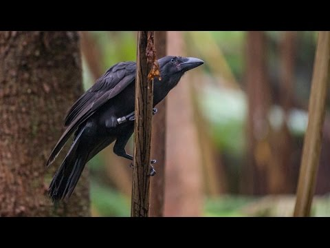 Hawaiian Crow Released After Going Extinct In Wild (Dec. 16, 2016)