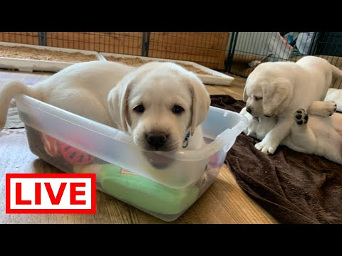LIVE STREAM Puppy Cam! Adorable Labrador Puppies at Play! 6 weeks and rambunctious!