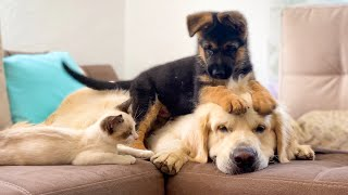 German Shepherd Puppy and Kitten annoy the Golden Retriever with their Play!