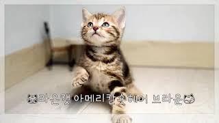 라온캣 고양이분양 아메리칸 숏헤어 브라운