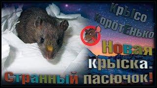 """Очень странный крысенок! Новый """"дикий"""" пасюк в нашем приюте. Чудное чудо. (Wild Rats)"""